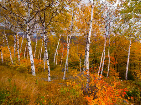 birch trees: Birch trees in autumn Stock Photo