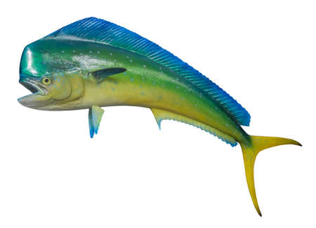 Dolphin fish, isolated