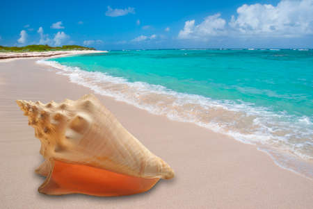 conch shell: Large conch shell on sandy beach