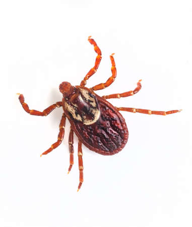 parasite: Deer tick on white Stock Photo