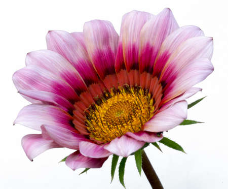 multicolor gazania flower on white isolated background Banque d'images