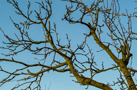 plum tree during the winter without leaves bare branches against the sky in the dim December sun