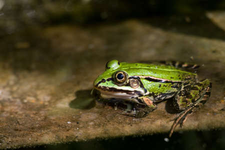 a green frog half-submerged in water basks in the sun on the edge of the pool Reklamní fotografie