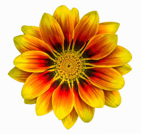 orange-yellow gazania flower in full bloom closeup on full frame on a white background Banque d'images