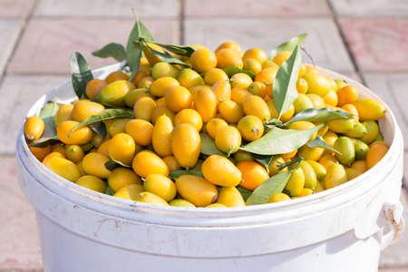 Fresh ripe orange cumquat (kinkan) citrus fruits in a plastic bowl in a sunny day. Stock Photo
