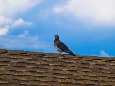 Pigeon climbing the steplike roof tiles. photo