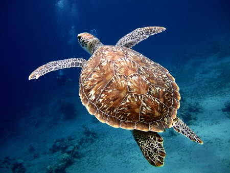 Swimming Turtle with Beautiful Shell photo
