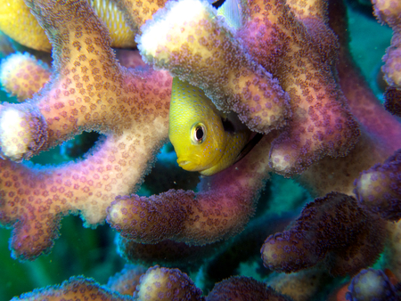 hard coral: Fish Hiding in Coral
