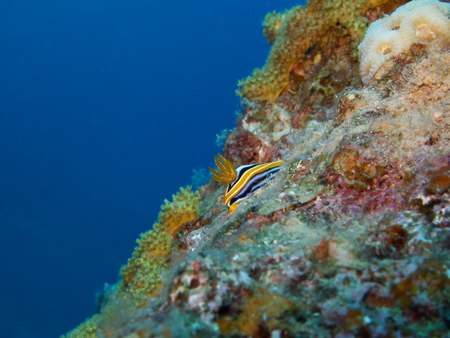 Nudibranch on Coral Reef photo