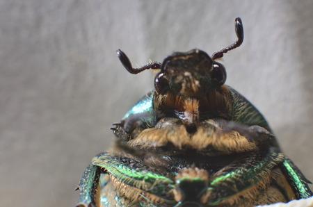 macrophoto: macrophoto of dung-beetle in nature Stock Photo