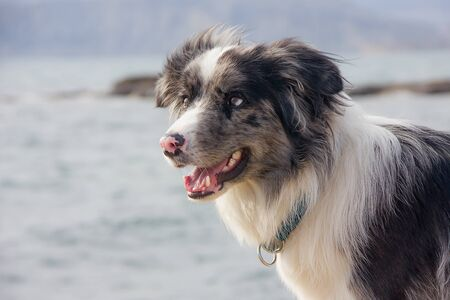 Dog Breed Border Collie With Expressive Look At The Sea Shore Close Detail
