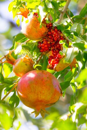 Autumn Ripe Pomegranates On A Branch Sunny Day Close