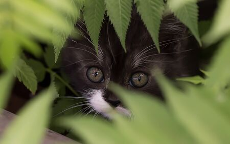 Black kitten with a white muzzle and expressive gaze hid in green bushes Close-up