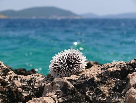 pilluelo: Sea urchin on the stones