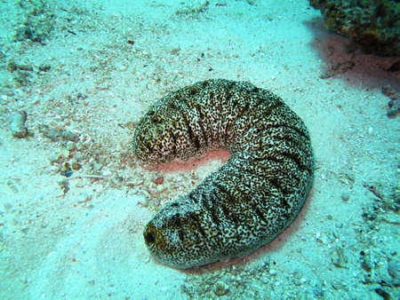sea cucumber: Sea cucumber in Indian ocean Stock Photo