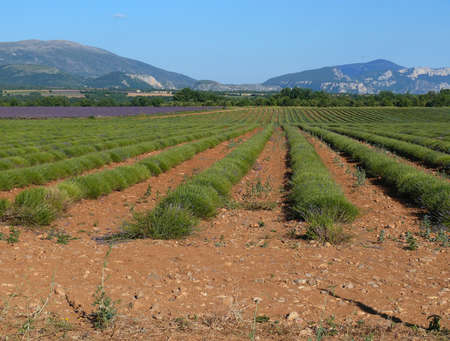 Field of lavander after crop photo