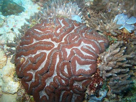 brain coral: brain coral,  Stock Photo