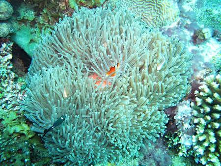 double page: anemone sea Stock Photo