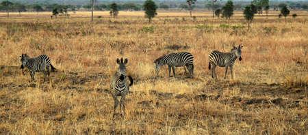 chordates: zebra