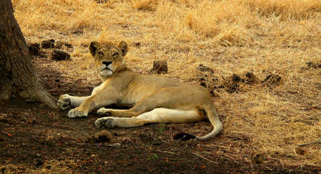 chordates: lioness lying under a tree on the reservation mikumi, tanzania Stock Photo