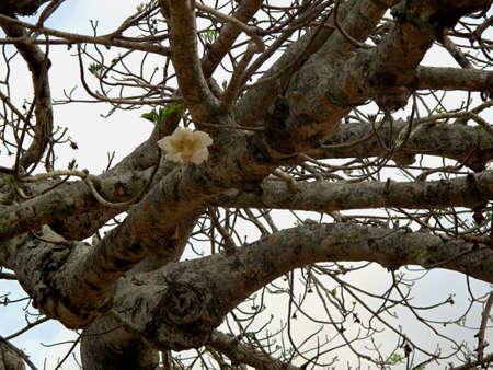 adansonia: baobab tree detail with flower Stock Photo