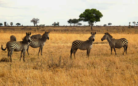 chordates: zebras in the wild Stock Photo