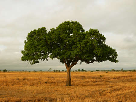 bowery: the tree standing alone in the savannah of tanzania