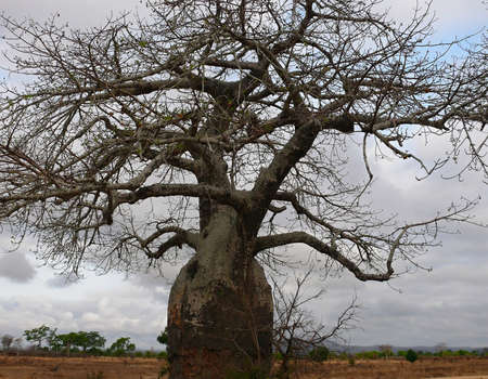 savana: tree baobab in savana Tanzania