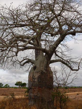 adansonia: tree baobab in savana Tanzania
