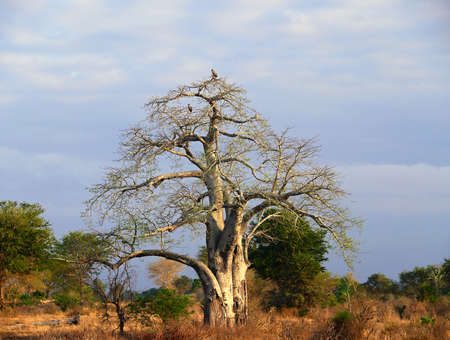 adansonia: baobab tree in booking vultures at the top