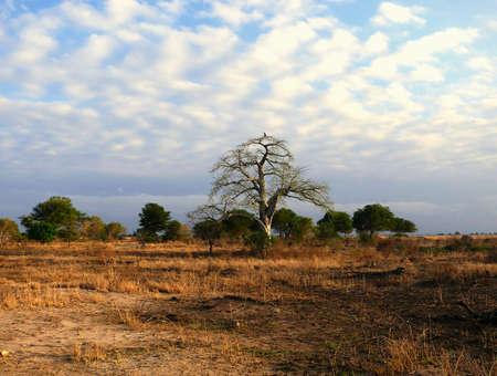 adansonia: baobab tree standing alone in savannah