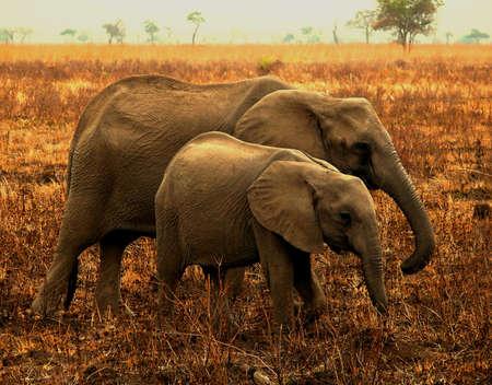female with a calf in the savanna in tanzania Stock Photo