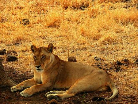 chordates: lioness resting