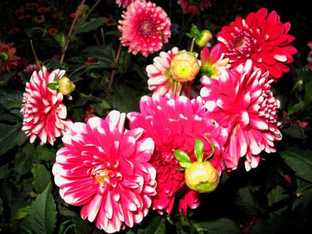 tuberous: dahlia flowers detail