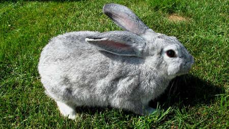 chordates: domestic rabbit grazing on green grass Stock Photo