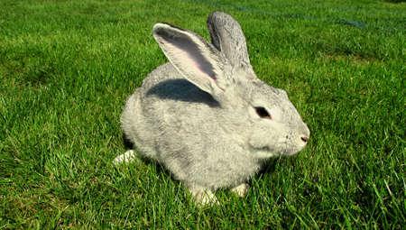 chordates: domestic rabbit Stock Photo