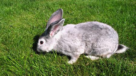 chordates: rabbit grazing on green grass