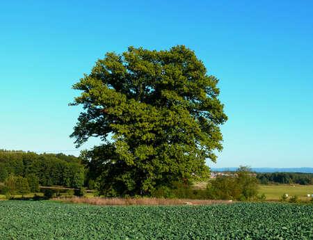 field maple: maple tree standing in a field Stock Photo