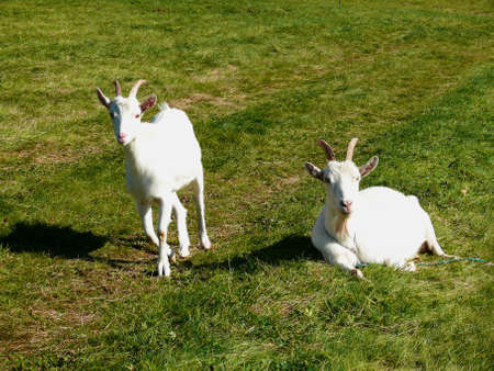 ruminants: home two goats on pasture