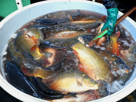 full tank of fish harvested in the fishing pond in america franzensbad photo