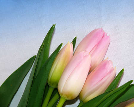 tulipa: tulips on the blue backgroun Stock Photo