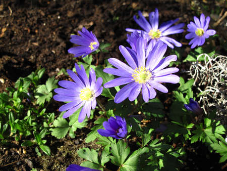 numerous: purple flowers in garden Anemone blanda