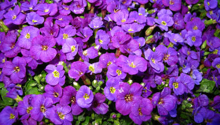 purple flowers in garden saxifrage Stock Photo - 13425743
