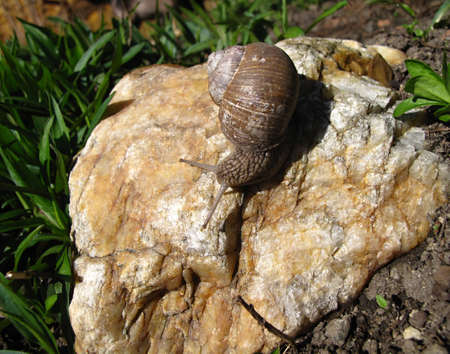 hermaphrodite: snail on the stone