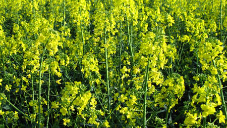 oilseed: oilseed rape