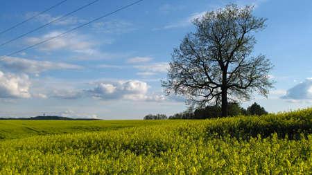 oilseed: oilseed rape field