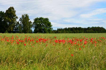 papaver: papaver rhoeas red flower poppy Stock Photo