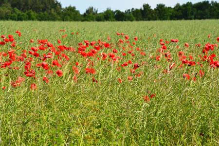 papaver: poppy papaver rhoeas red flowers