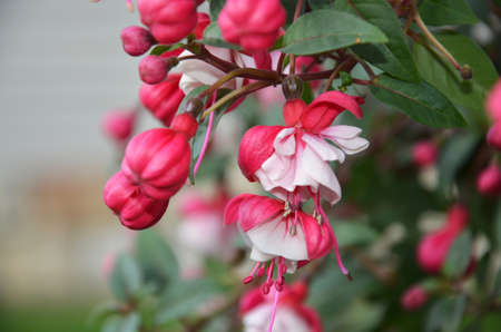 myrtales: flowering fuchsia red and ping Stock Photo