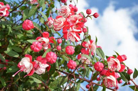 myrtales: fuchsia flowering  Stock Photo